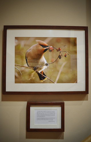 Ashley Howe - Waxwing
